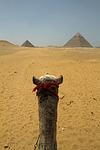 cairo, egypt, camel
