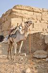 camel, dromedary, egypt