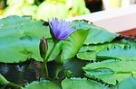 water lily, lilac, anantara