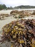seaweed, ucluelet, vancouver island