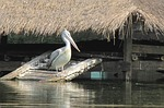 pelican, bird, zoo