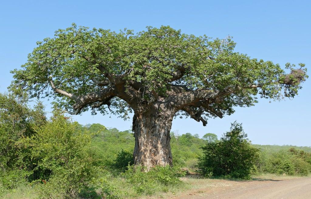 Von Wielligh's Baobab görüntü. southafrica baobab kruger olifants adansoniadigitata taxonomy:binomial=adansoniadigitata vonwiellighsbaobab