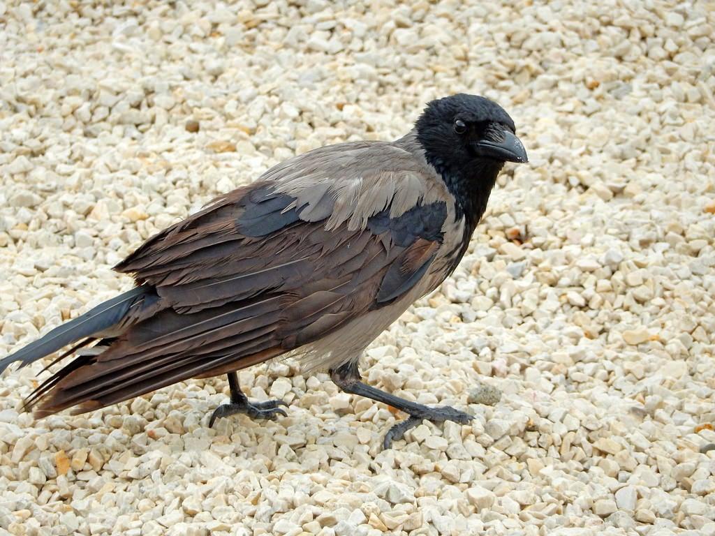 Kuva Sándor Palota. bird hungary budapest palace crow sandor corvid buda hooded corvus cornix sándorpalota