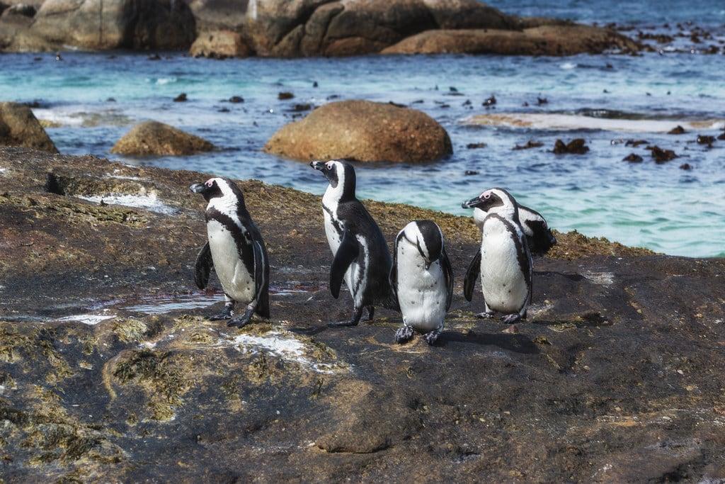 Obrázek Water's Edge Beach. southafrica wildlife capetown pinguin südafrika simonstown westerncape pinguine bouldersbeach africanpenguin spheniscusdemersus jackasspenguins jackasspenguin africanpenguins brillenpinguin blackfootedpenguin blackfootedpenguins brillenpinguine desertdeltasafaris elangeniafricanadventures