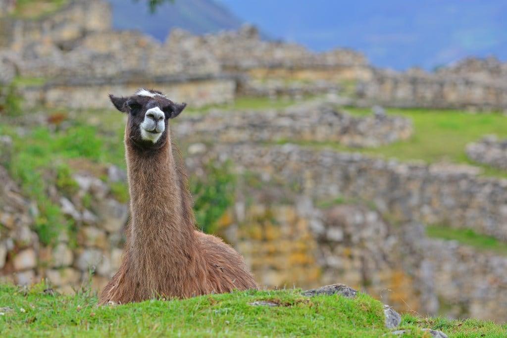 Image of Kuelap. llama chachapoyas kuelap