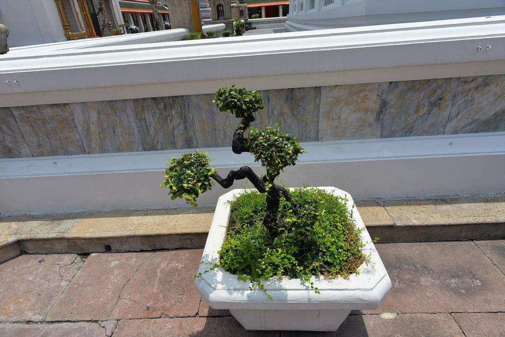 Зображення Wat Pho Temple. tree bonsai bonsaitree watpho bangkokthailand nikond610 nikkor20mmƒ28afd geotagged