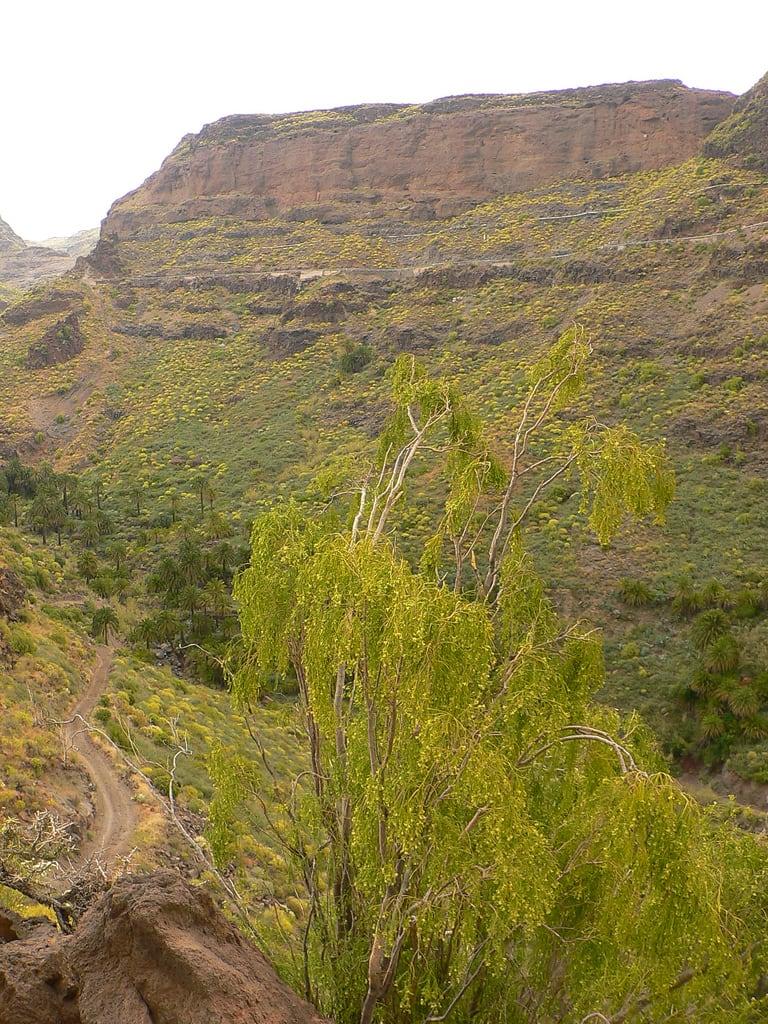 תמונה של La Fortaleza. grancanaria geotagged interior south sur inland barranco santalucía lafortaleza balo pendula plocama geo:tool=gmif geo:lat=27883723 geo:lon=15527099