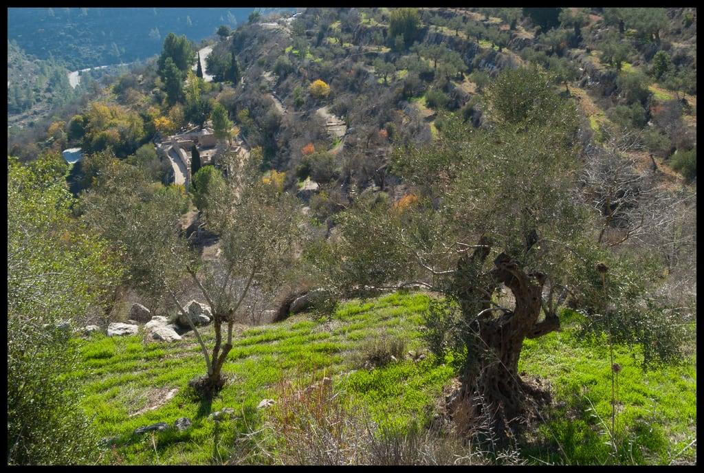 תמונה של Sataf. olivetree naturetrail sataf tzoba